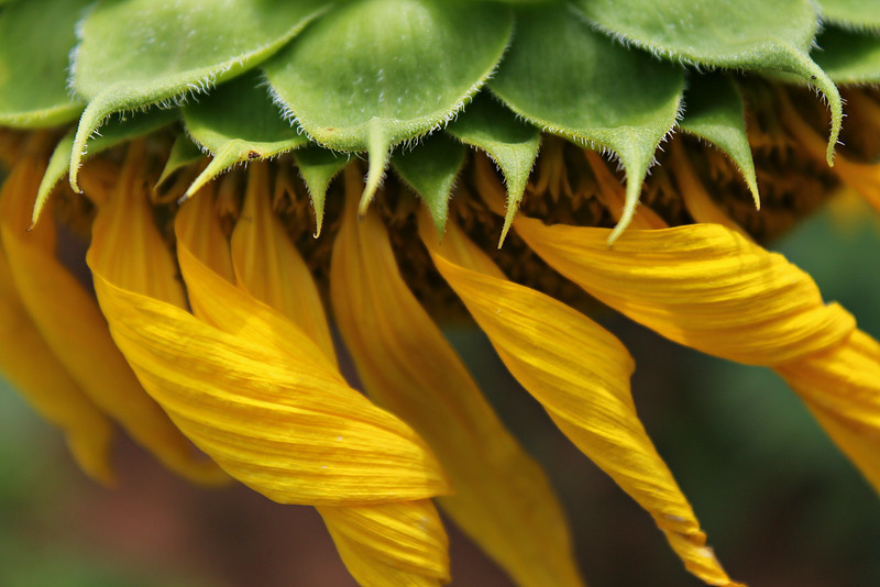 petals of sunflower