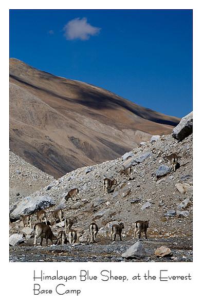 珠峰脚下的野岩羊