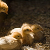 Young chicks at the Polish Kruza house.