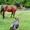 A horse looks askance at two wild turkeys that have dropped in to visit in the pasture on the 1875 Schottler farm.