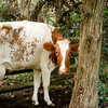 A shy cow at the 1915 Ketola dairy farm hangs out in her favorite shady in her pasture.