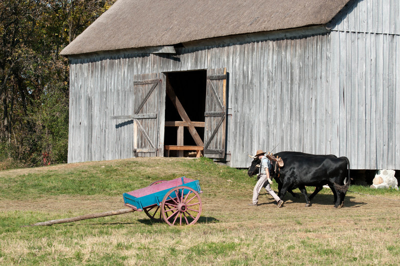 A team of oxen and their driver pass by the Grube barn at the 1860 Schulz (German) farm.