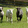 Sheep carefully watch the border collie that is herding them.  They're wary of him but he never touches them.