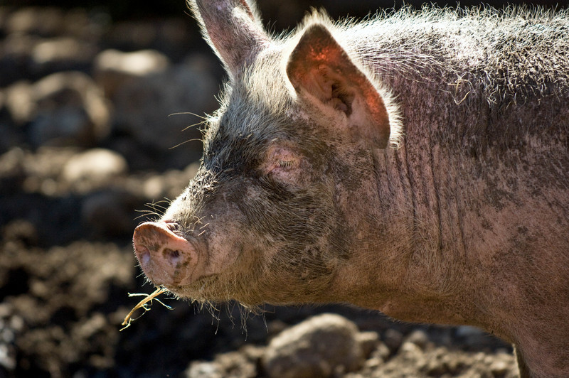 A happy pig wallows in the mud.
