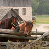 Horses at the 1875 German Schottler farm.