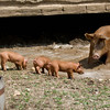 A mother pig teaches her piglets how to cool off on a hot day.