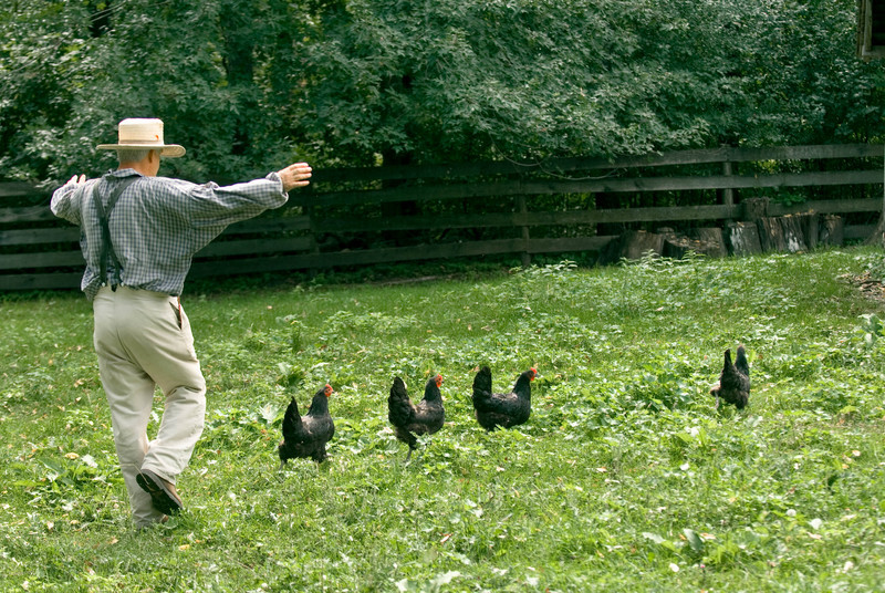 Shooing the chickens into the barn.