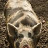 An inquisitive pig.