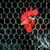 Rooster at the Koepsell farm.