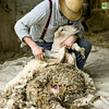 A sheep gets shorn at the 1865 Norwegian farm during the special annual spring event, Spring Rituals..