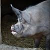 An Ossabaw pig.