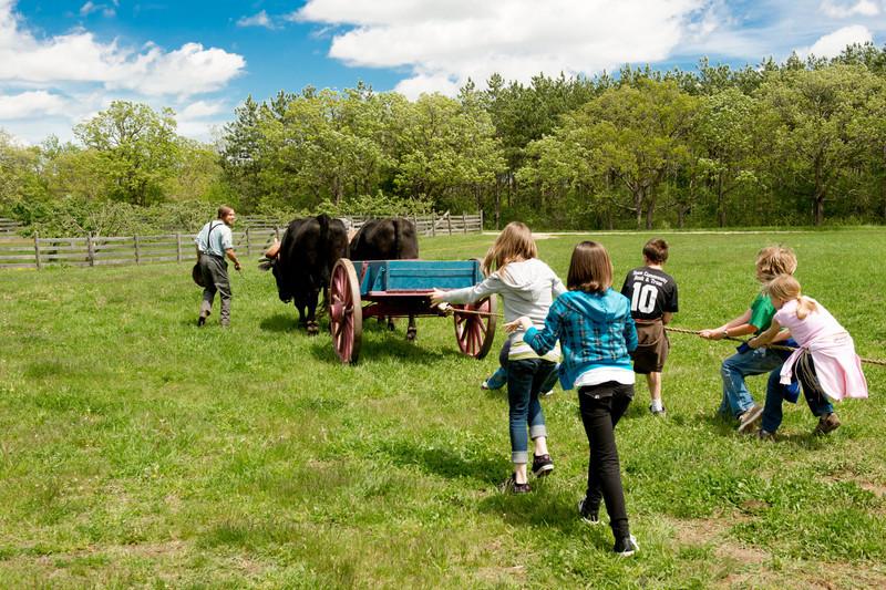 Schoolchildren on a field trip enjoy a tug of war with Teddy and Bear, Old World Wisconsin oxen.