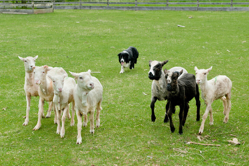 A border collie herds sheep at Old World Wisconsin's special event, Spring Rituals in May.