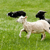 A border collie races to get ahead of the sheep he is herding.