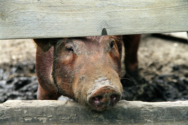 A pig at the Kvaale farm looks out longingly.