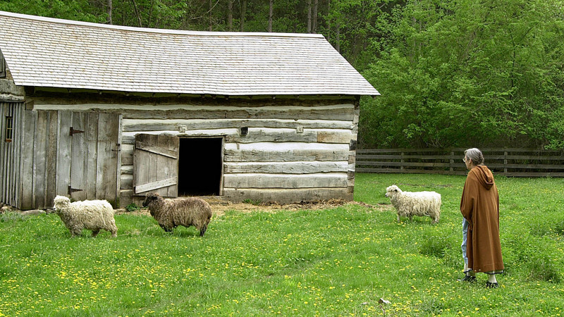 An interpreter herds sheep into their barn at the 1865 Kvaale farm.