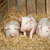 The three little pigs.