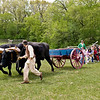 Schoolchildren on a field trip enjoy a tug of war with Teddy and Bear, Old World Wisconsin oxen but the oxen always win!