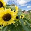 Sunflowers in the Sanford home garden in Crossroads village.