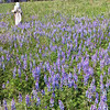 An interpreter walks through a field of lupine on her way to Crossroads village.  The prosperous Sanford home is seen in the distance.
