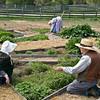 Volunteer gardeners working in the Sanford garden in Crossroads village.