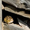 A chipmunk finds refuge in the Ketola dairy barn.