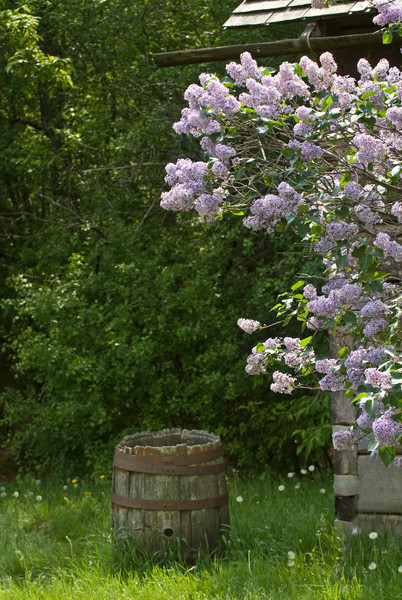Lilacs flourish at the Ketola farm.