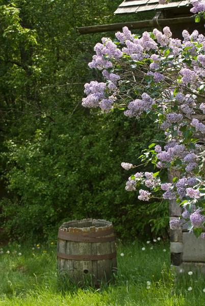 Lilacs flourish at the Ketola farm.