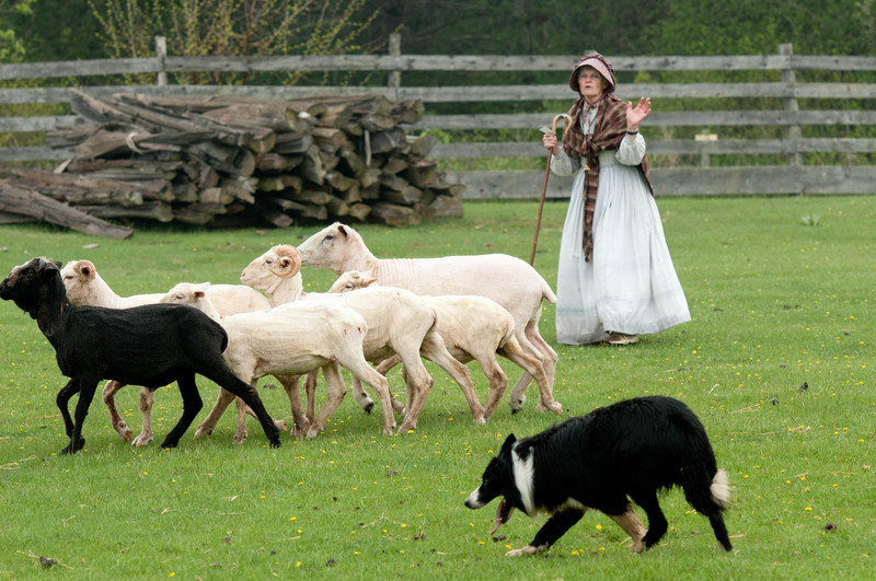 A shepherdess and her border herd sheep in Loomer field in Crossroads village.