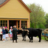Red Hat Society visitors meet Teddy and Bear, Old World Wisconsin oxen, in front of the Sisel Show Shop in Crossroads Village.