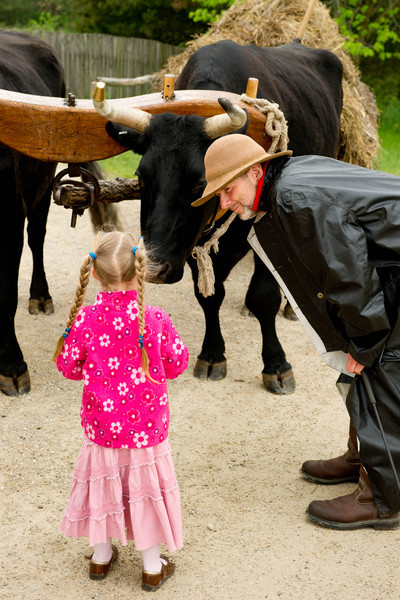 A young visitor meets Bear, one of the Old World Wisconsin oxen.