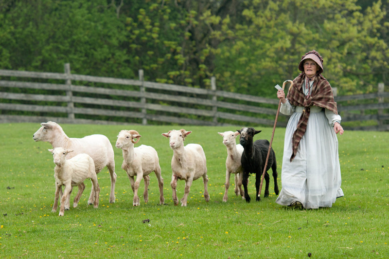 A shepherdess herds her sheep in Loomer field in Crossroads village.