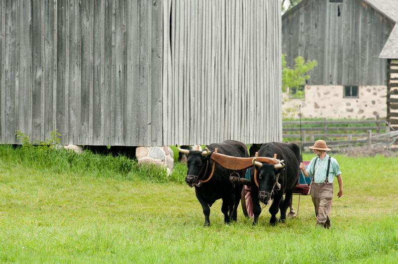 An historic farmer leads Teddy and Bear, Old World oxen, through the German Schulz farm.