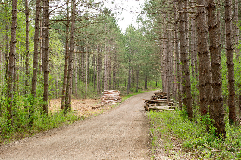 Thinning of Red Pine trees in 2011