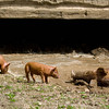 """Mom"" shows her piglets how to roll in the mud at the Schottler farm in the German area."