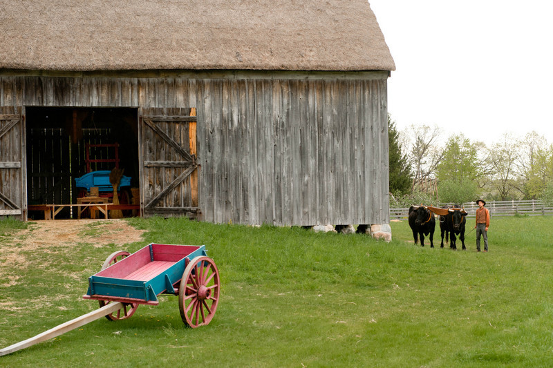 Teddy and Bear, Old World Wisconsin oxen head home to the 1860 Schulz farm after a long day's workout.