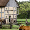An ox relaxes at the 1860 Schulz (German) Farm.