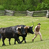 A farmer leads Teddy and Bear, Old World oxen, through a pasture on the Schottler farm.