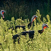 Wild turkeys forage for something to eat at the 1875 Schottler farm.