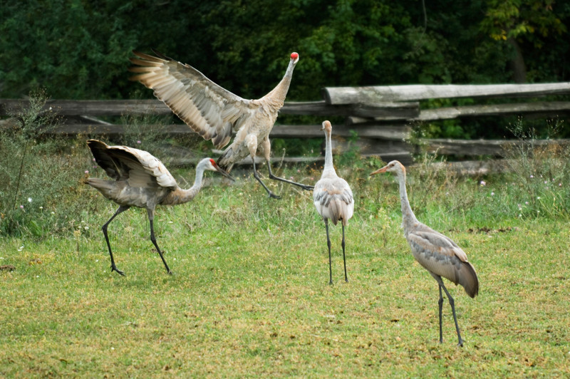 Sand Hill cranes drop in for lunch at the 1875 Schottler farm.