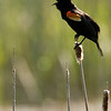 A red-winged blackbird sings in a marshy kettle in the German area.