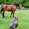 A horse looks askance at two wild turkeys that have come to visit in the pasture on the 1875 Schottler farm.