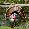 A male wild turkey in a courtship show on the Schottler farm.