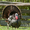 A wild turkey in a courtship show on the Schottler farm.
