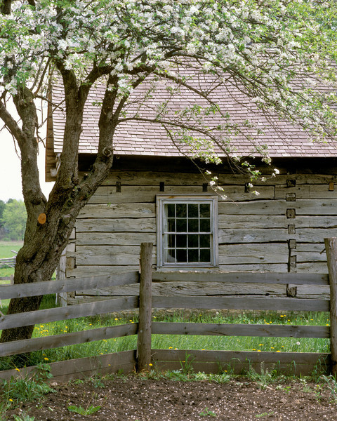 Flowering apple tree at the 1865 Kvaale farm.