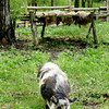 An Ossabaw pig at the 1845 Fossebrekke farm.