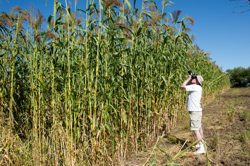 """Broom corn in the Norwegian area of Old World Wisconsin grows very tall.  The photographer seen here is 6'6"""" tall."""