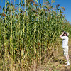"Broom corn in the Norwegian area of Old World Wisconsin grows very tall.  The photographer seen here is 6'6"" tall."