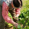 Harvesting beans in the Sanford House garden in Crossroads Village.