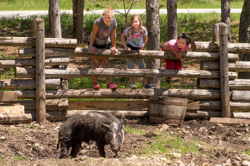 Young visitors check out an Ossabwa pig on the Fossebrekke farm.